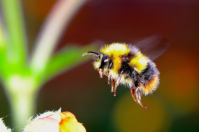 close up of a bumble bee
