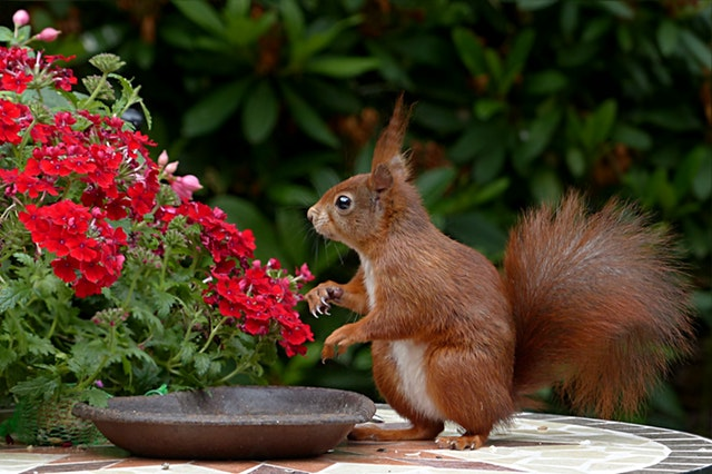 squirrel on a garden table next to an empty plate and red flowers